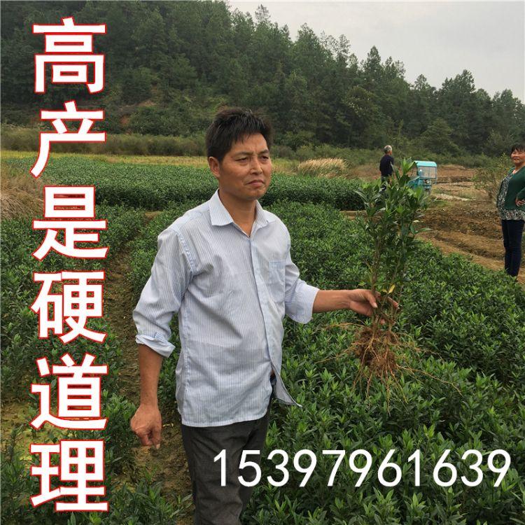 山栀子苗种植基地直销山栀子苗黄栀子苗水栀子苗等优质苗木