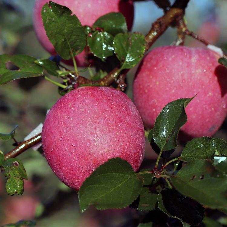 产地脆甜苹果水果批发75-80新鲜红富士 食品 泡沫箱装荣成红富士