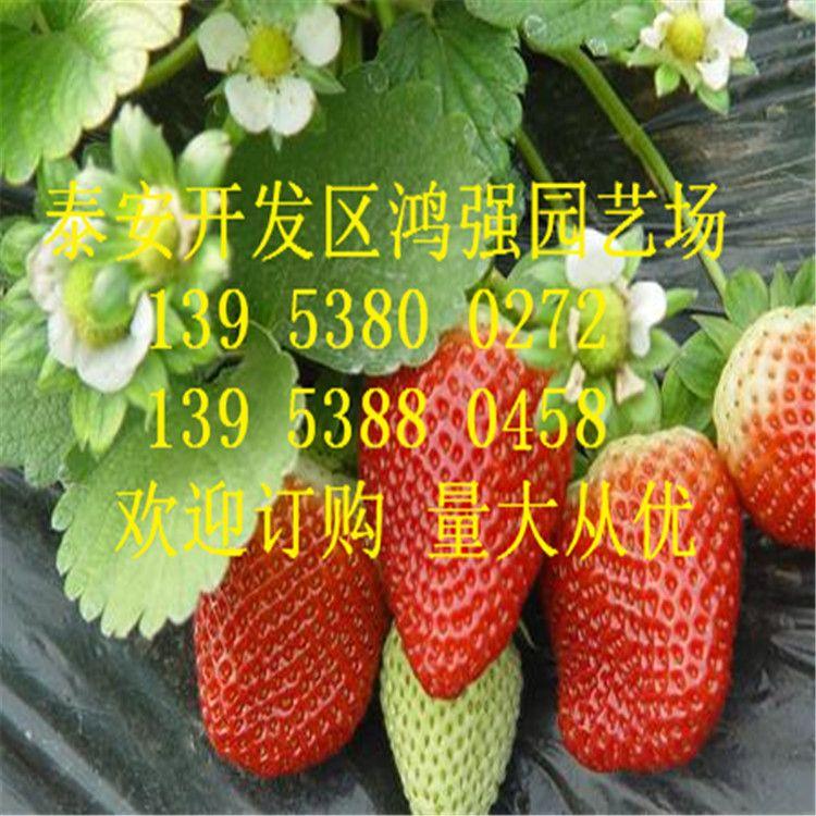 现货供应优质红颜草莓苗 量大从优 香甜可口红颜草莓苗 成活率高