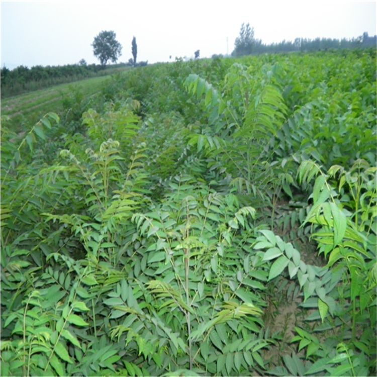 苗木基地批发香椿苗 矮化大棚香椿苗 红油香椿苗1-3年香椿树苗