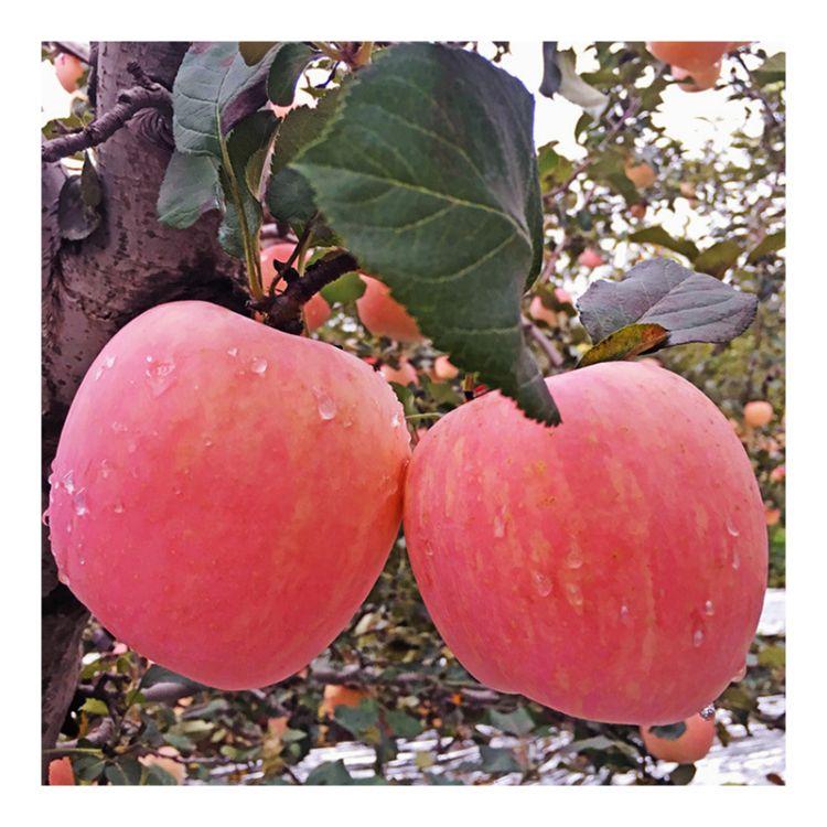 纸加膜陕西红富士苹果 10斤包邮非洛川苹果 水果一件代发陕西苹果