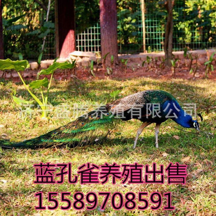 活体景区观赏孔雀的价格 哪里有养殖孔雀的 常年出售蓝 白 花孔雀