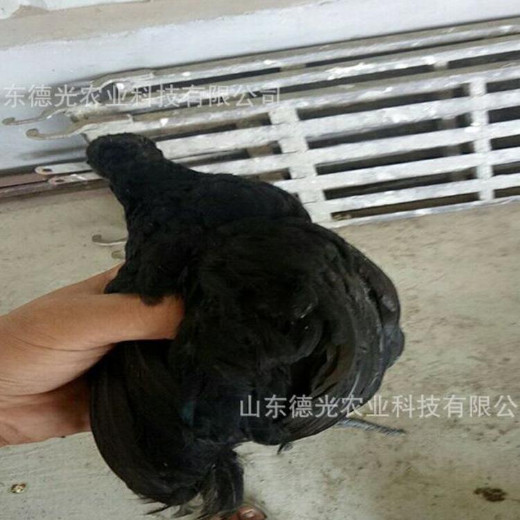 原生态绿壳蛋鸡苗 纯种五黑一绿鸡苗 农家散养脱温30天绿壳蛋鸡