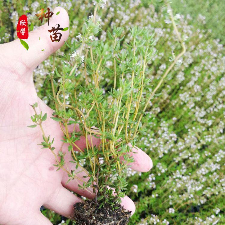 供应百里香种苗 芳香类多种香草种苗 百里香播种苗