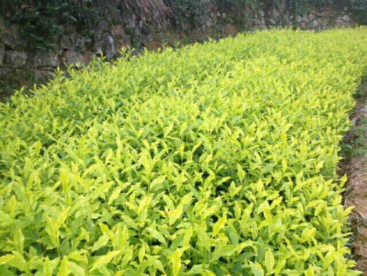 王亚军茶苗     龙井系列   黄茶系列   白茶系列  绿茶系列