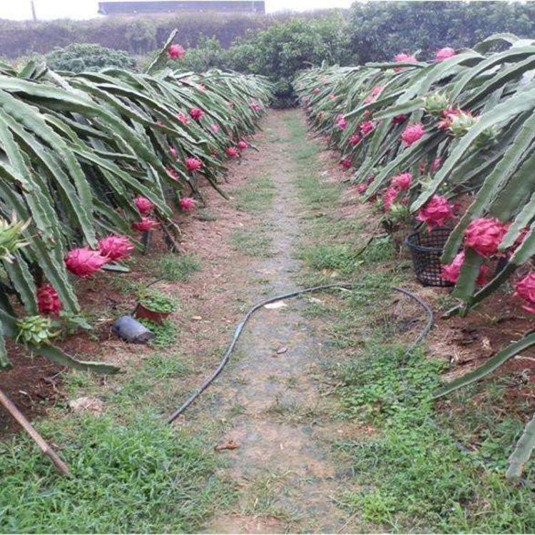 优良品种红心火龙果苗 产量高 品质好 现挖现卖红心火龙果苗