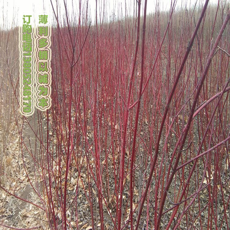 红瑞木绿化苗批发,北方园林绿化耐寒苗木品种,红瑞木小苗