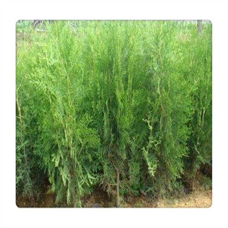 园林绿化工程用龙柏苗价格营养钵侧柏小苗 荒山绿化苗