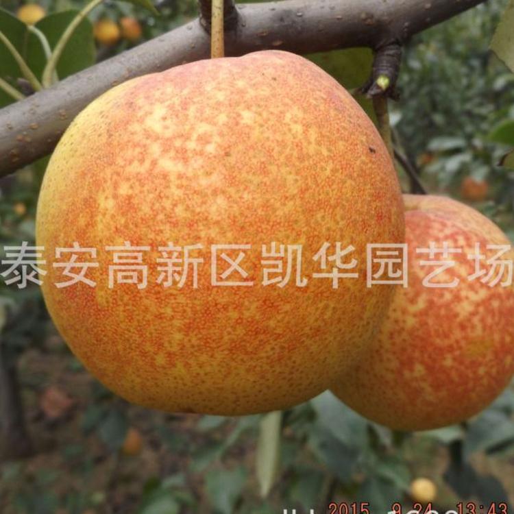 批发梨苗 山东苗木出售 新品种梨树苗