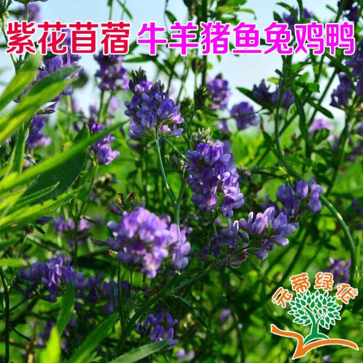 牧草 紫花苜蓿种籽 多年生牧草 含蛋白 营养高 量大优惠 高产丰收