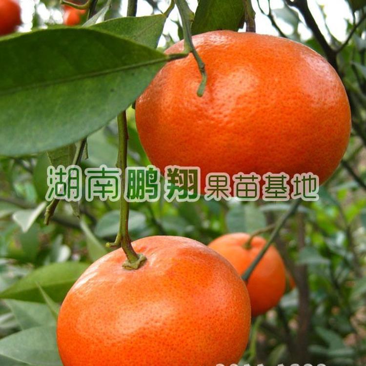 果树苗木 橘子树苗 桔子苗珍稀名贵新品种 美国大红桔苗木批发