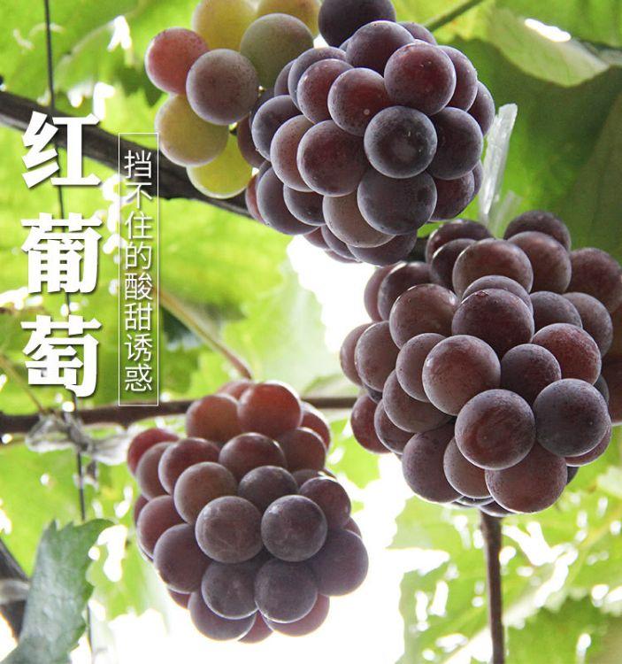 红葡萄 云南新鲜水果脆甜葡萄鲜果 当季水果果园现摘直销水果批发