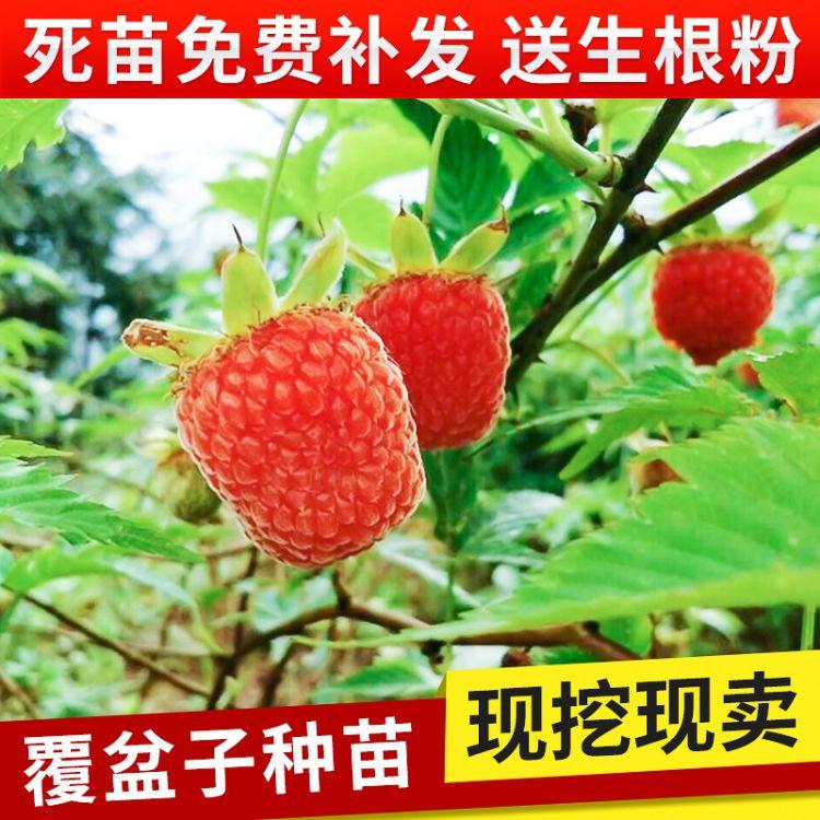 覆盆子苗木树苗直销 红树梅种苗 野生果苗 掌叶覆盆子苗 成活率高