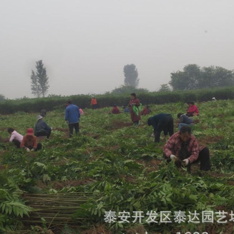 南方红油香椿小苗 基地机械化起苗连云港1.5公分大棚红油香椿树苗