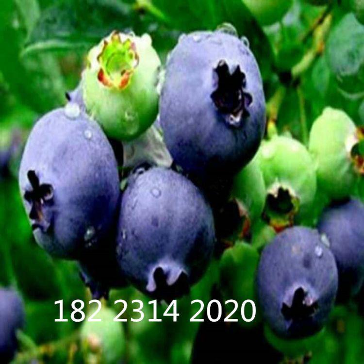 苗圃直销 蓝莓苗 正宗兔眼蓝莓苗 果树苗批发 新品种南方果树苗木