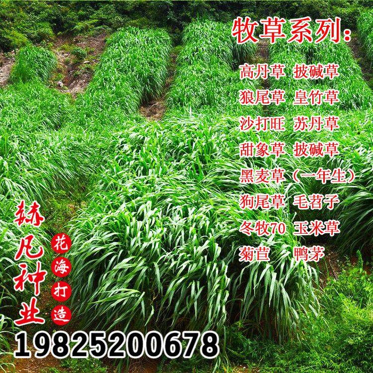 批发牧草黑麦草冬牧70高丹草墨西哥玉米草紫花苜蓿菊苣皇竹草