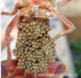 批发人工繁殖杂交小龙虾青虾种苗鲜活水产养殖种虾幼苗基地直销