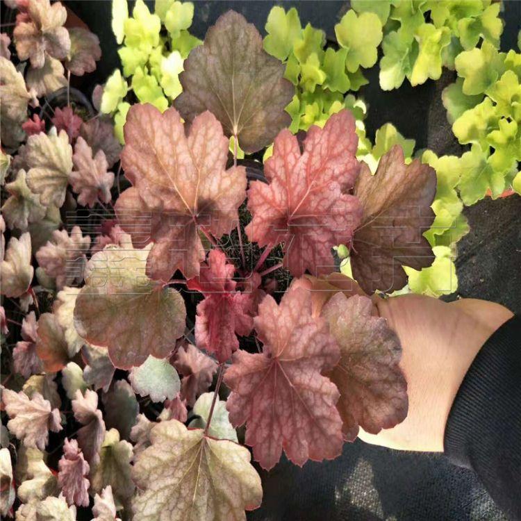 盆栽矾根苗圃直销颜色多 双色盆矾根价格 耐阴耐寒地被植物