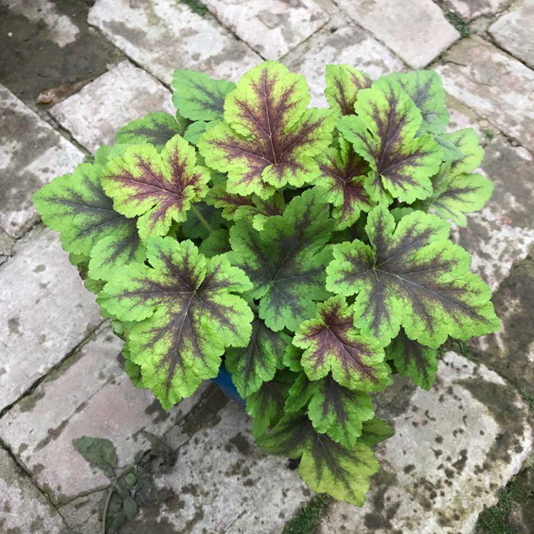 庭院绿植盆栽 矾根大苗 矾根花苗 进口花苗颜色多样 耐寒耐热好养