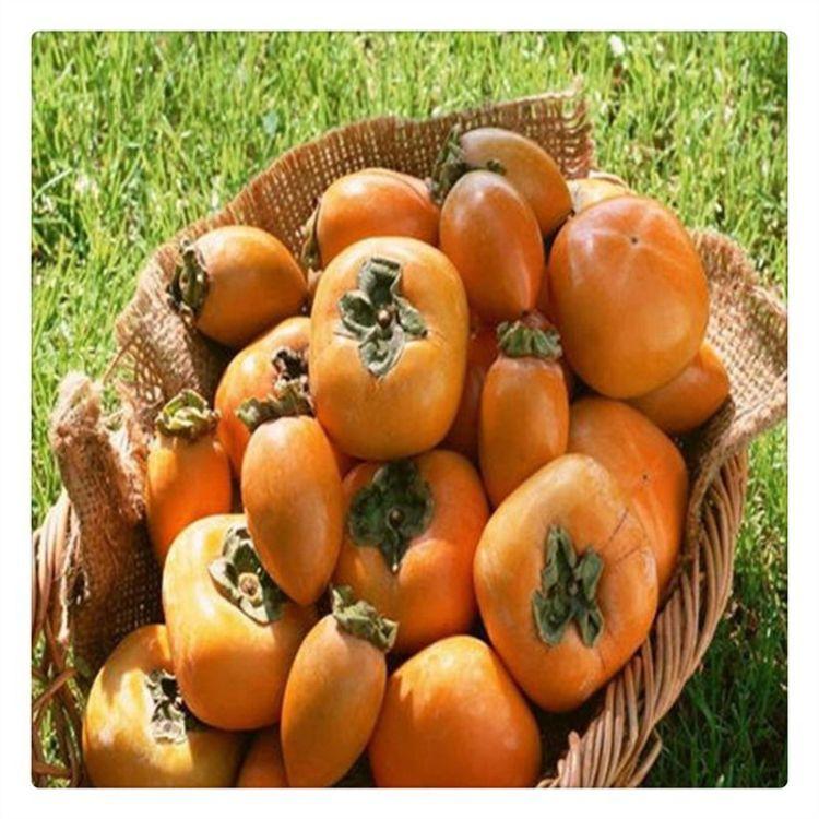 哪里有阳丰甜柿苗 脆柿子苗价格  货源充足