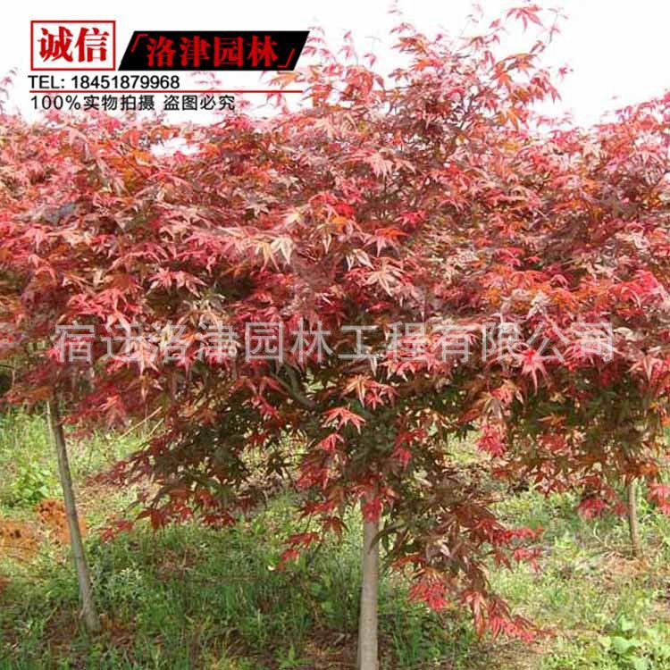 基地日本红枫苗中国红枫苗规格齐全红枫苗 观叶日本红枫树苗