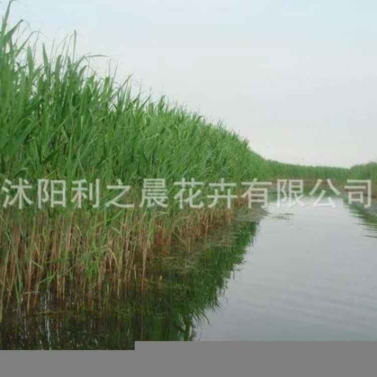 基地直销水生植物芦苇苗批发 水生芦苇 水体绿化 水生植物 绿化苗