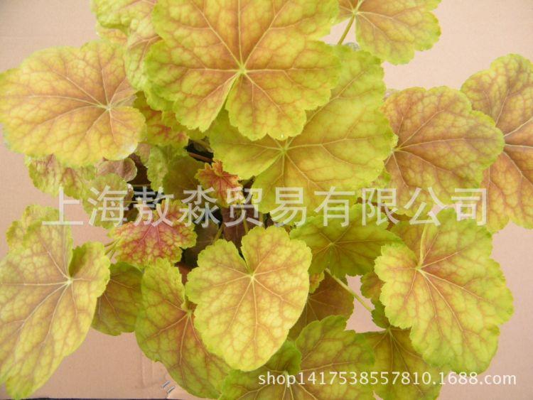 厂家批发 家居彩叶秀妍矾根盆栽花卉 矾根盆栽组培苗花卉基地