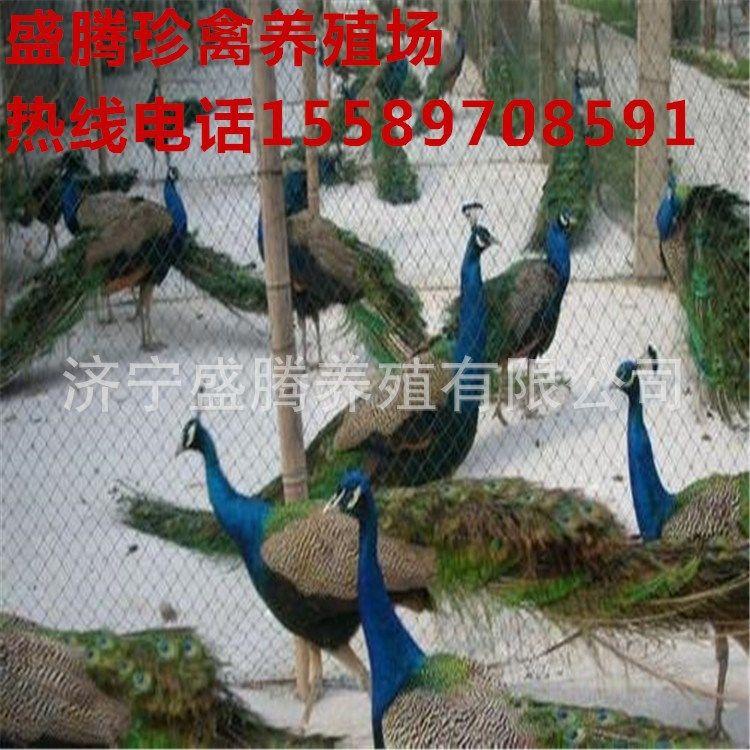 哪里有卖孔雀的出售成年孔雀孔雀多少钱一只免费咨询孔雀养殖技术