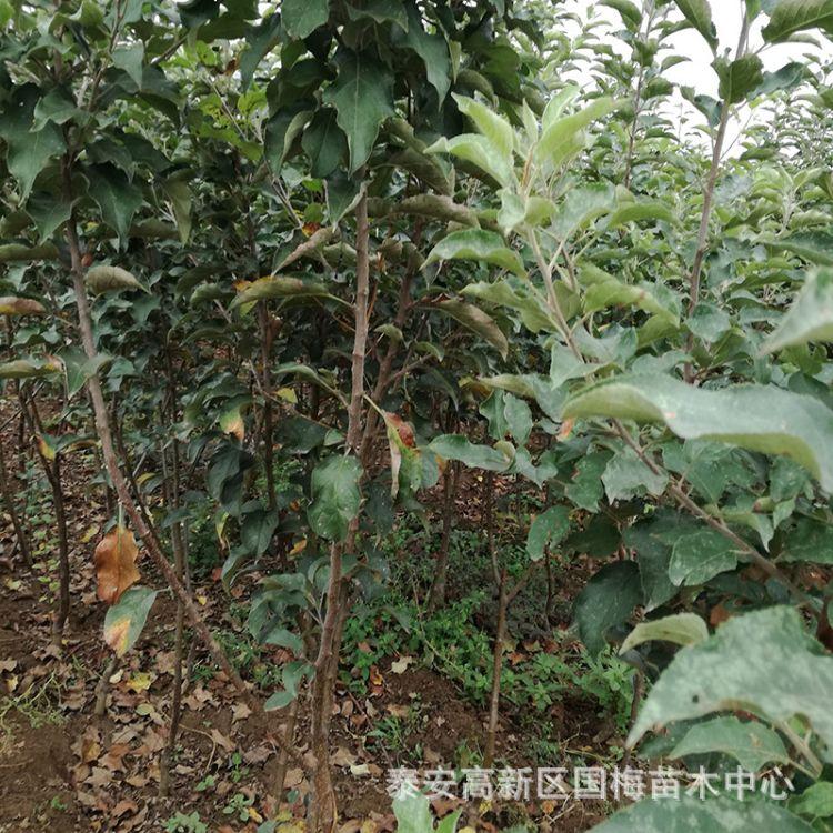 萌芽率高无虫害苹果苗 嫁接苹果苗 当年结果质优价廉苹果苗