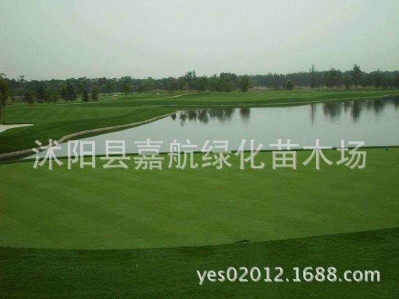 特级剪股颖草坪种子(L- 93)叶片质地柔细 叶色浓绿 匍匐剪股颖