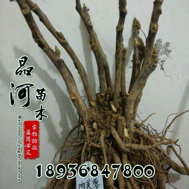 牡丹苗 精品正宗洛阳牡丹 室内花卉绿植盆栽 牡丹花苗带芽孢发货