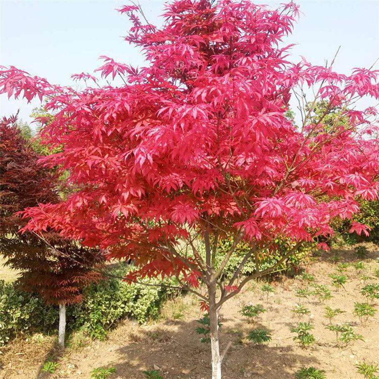 红枫树苗日本红枫红舞姬苗庭院别墅绿化苗美国红枫树苗四季红枫苗