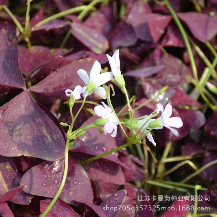 直供宿根花卉紫叶酢浆草苗 紫蝴蝶防辐射花卉  有氧花盆酢浆草