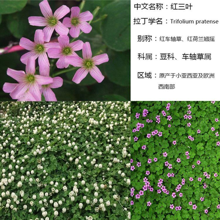 白三叶种子 红三叶种子紫花苜蓿白三叶护坡草坪牧草种子
