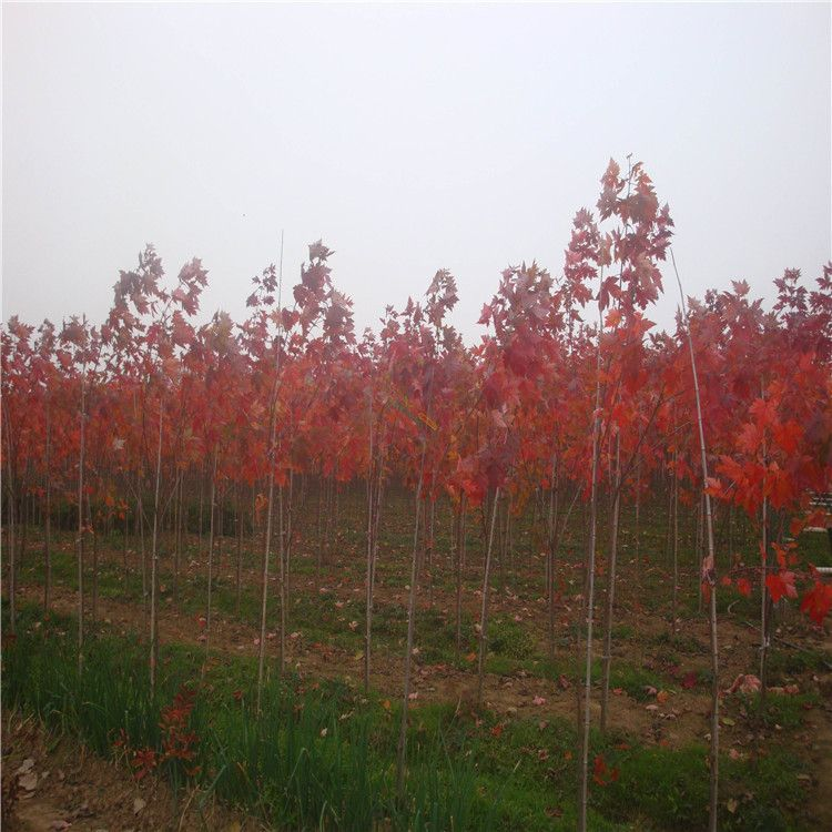 美国红枫树苗 日本红枫苗 红枫小苗 秋火焰红舞姬 优质货源