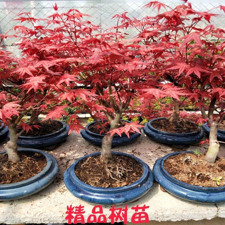 红枫小苗中国红枫树苗嫁接红枫苗三季红红枫日本红枫苗多分支盆景