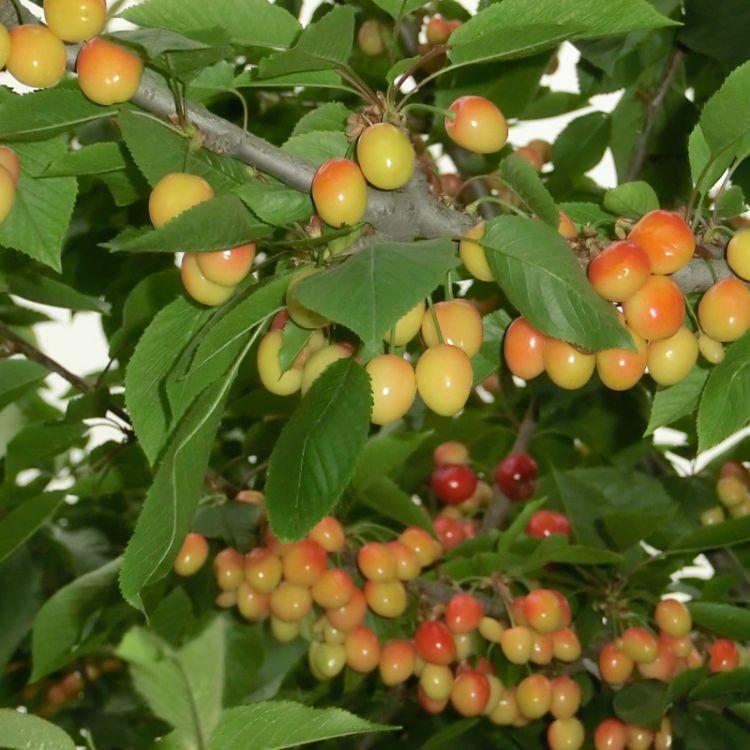 长期种植出售樱桃苗多年种植果大丰产 南北方种植樱桃苗