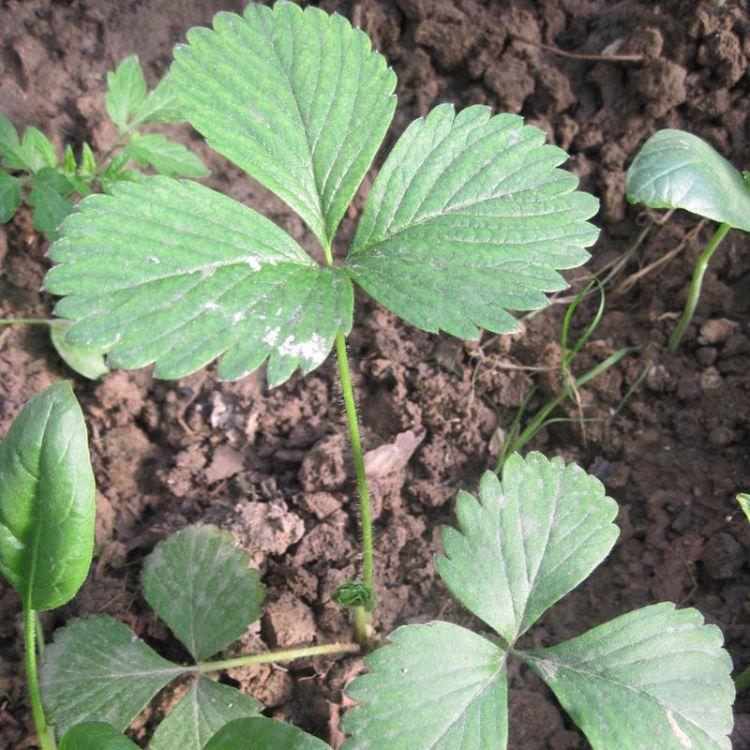 本基地出售宁玉草莓苗 咖啡草莓苗 奶油草莓苗草莓苗价格