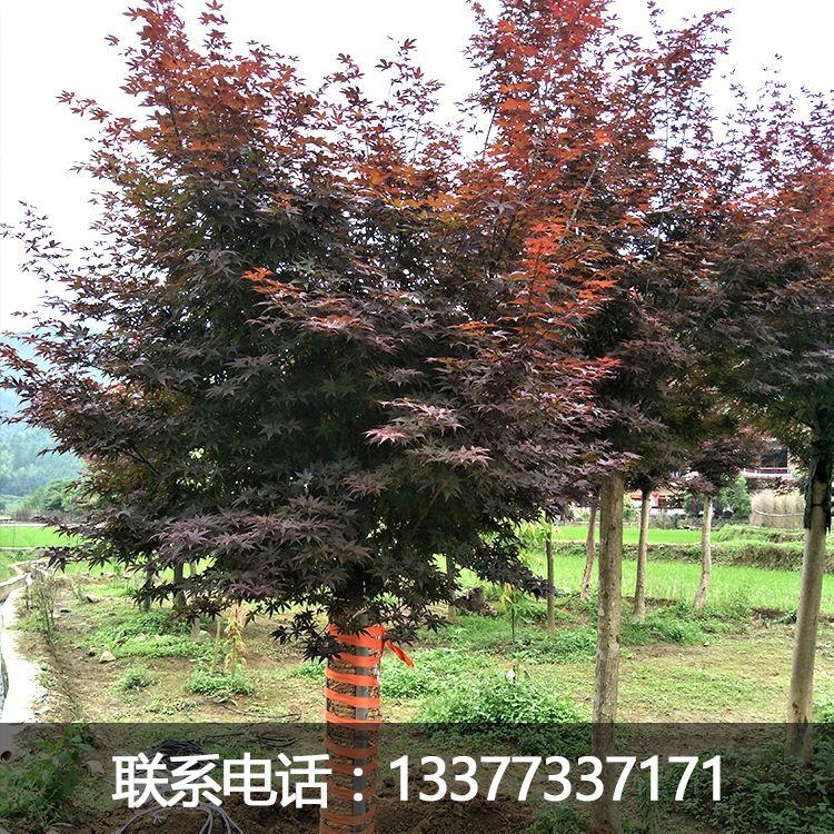 广西桂林5-30CM红枫 三季红枫 日本红枫 中国枫红枫树