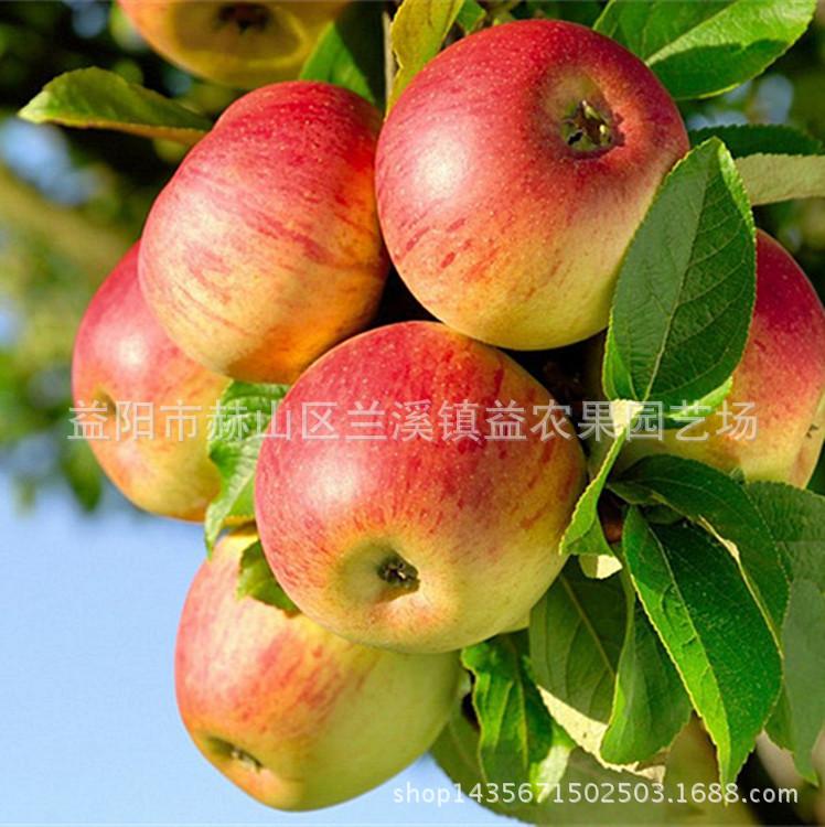果树苗木批发 嫁接果苗苹果苗 柱状苹果树苗 润太一号苹果树种苗