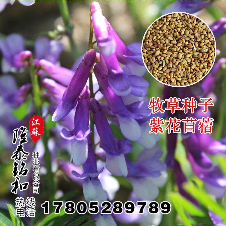 批发牧草种紫花苜蓿种子净籽紫花苜蓿南北方高产牛羊牧草量大优惠