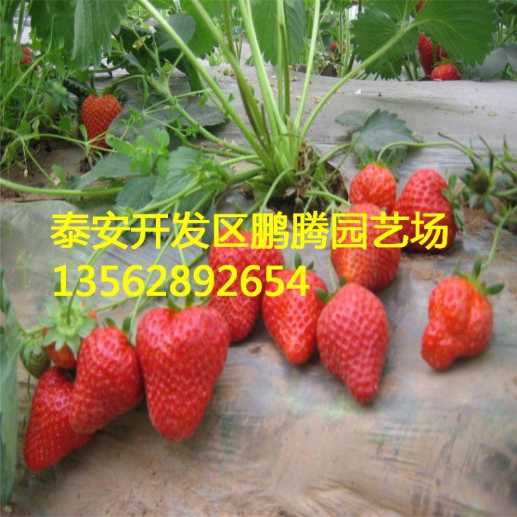 百亩基地培育优质草莓苗 四季草莓苗 牛奶草莓苗 法兰地草莓苗