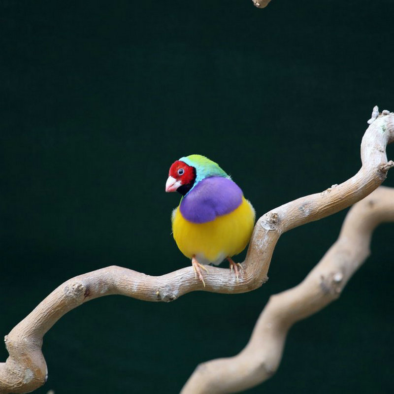 爱情鸟送祝福 长期供应七彩鸟 爱鸟者幼鸟 观赏宠物鸟