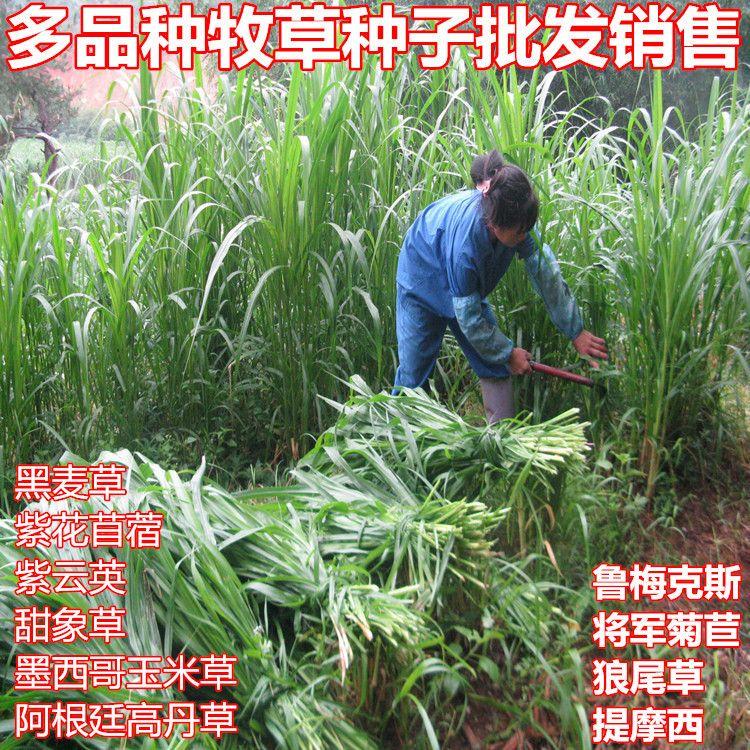 黑麦草种子进口紫花苜蓿 紫云英 冬牧70种子多年生菊苣草坪牧草