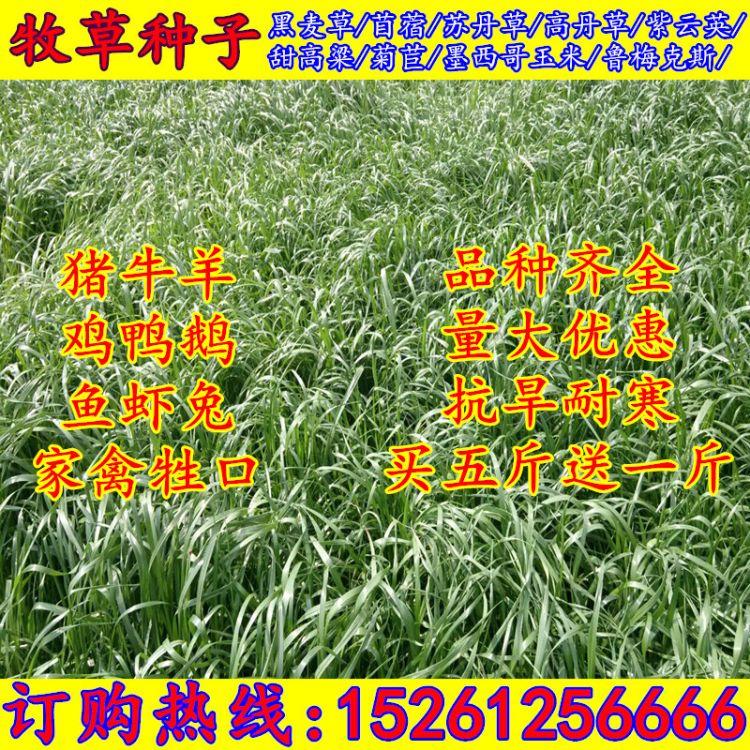 牧草种子 多年生黑麦草种子紫花苜蓿 紫云英 冬牧70种子 草坪