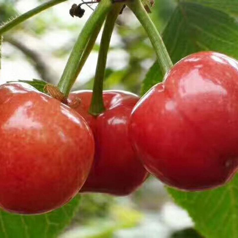 苗圃供应优质樱桃苗 吉塞拉樱桃树苗车厘子樱桃品种齐全价格公道