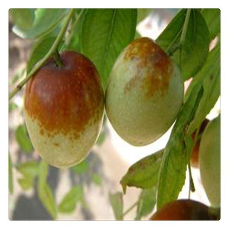 大量出售枣树苗 现场看苗起苗规格全室外庭院种植易管理 枣树苗