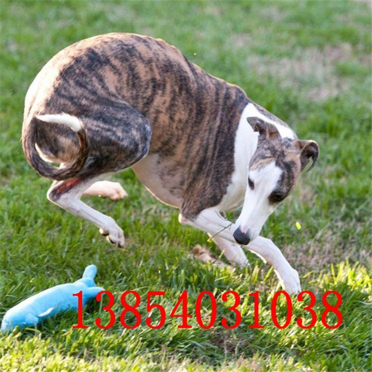 出售纯种灵缇犬幼犬活体 、 格力犬、惠皮特犬、格惠犬等