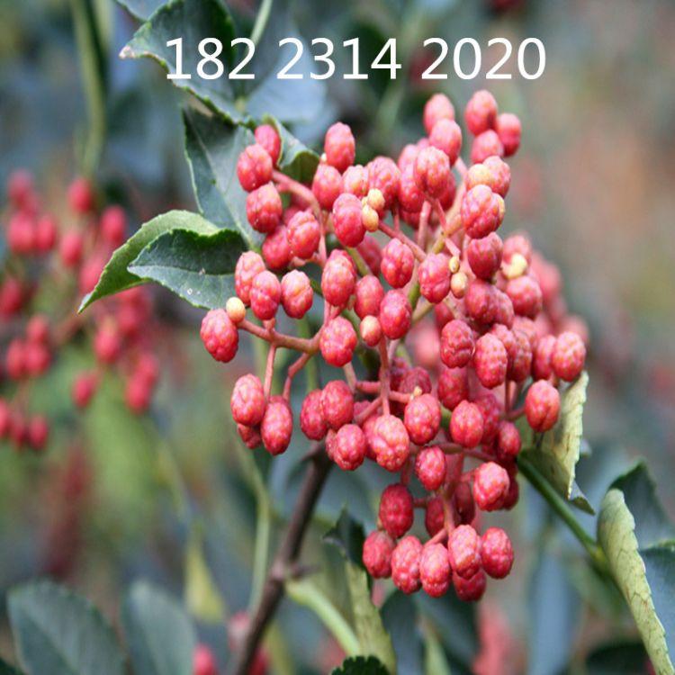 重庆花椒苗木批发 大红袍花椒苗木直销 新品种 南方种植花椒苗木