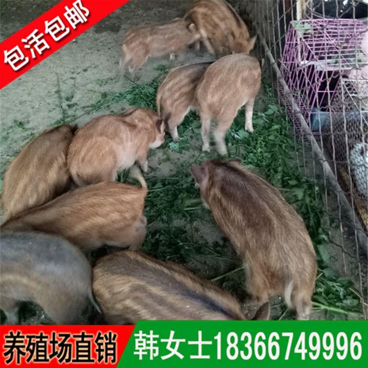 广西纯种野猪 特种养殖野猪 野猪苗价格种猪价格成年野猪养殖场